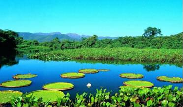 Vitória-régia, planta aquática do pantanal Mato-Grossense