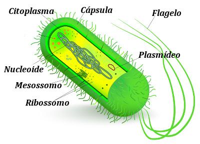 As bactérias apresentam uma região com DNA conhecida como nucleoide