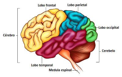 Observe a divisão do cérebro em lobos