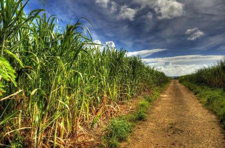 A plantação de cana-de-açúcar é um recurso renovável