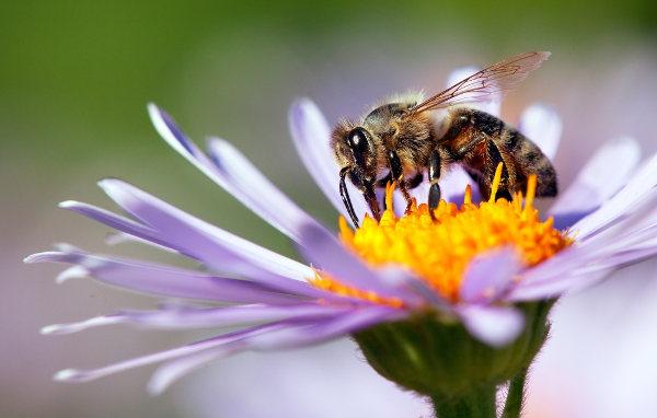 As abelhas são animais que atuam como polinizadores de várias espécies.