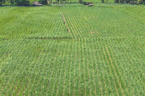A monocultura de cana-de-açúcar em latifúndios nordestinos foi um dos primeiros cultivos no Brasil.