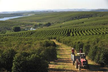 Produção cafeeira em Alfenas, Minas Gerais *