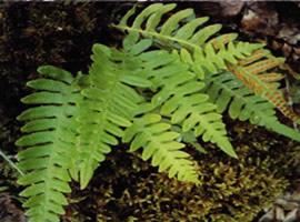 A samambaia pertence as pteridófitas
