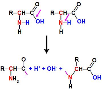 Quebras que ocorrem no aminoácido