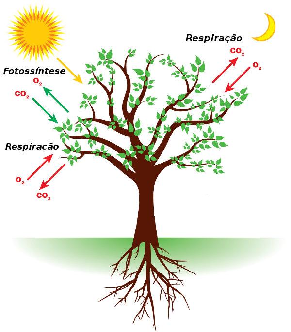 A fotossíntese garante a liberação de oxigênio, que será utilizado por meio da respiração.