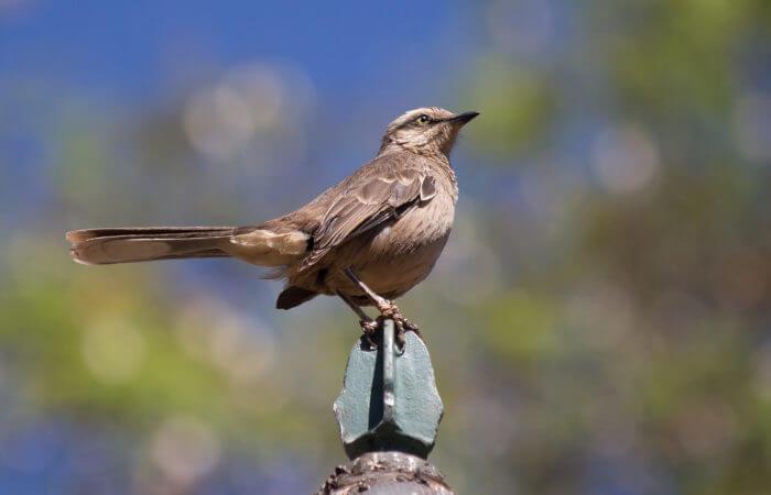 O sabiá-do-campo é um exemplo de pássaro.