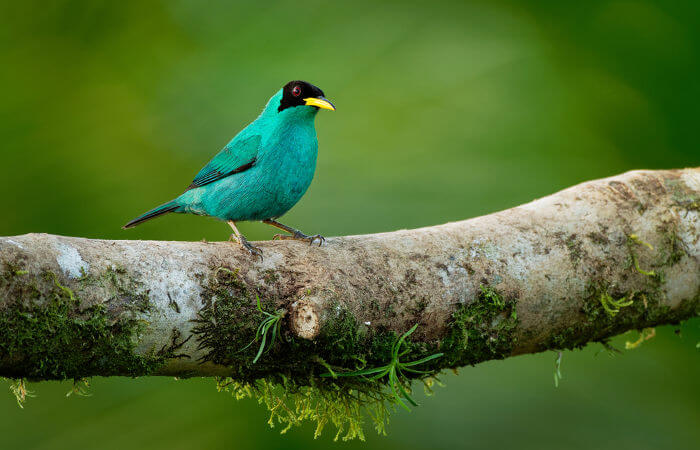 O saí-verde é uma ave da ordem Passeriformes.