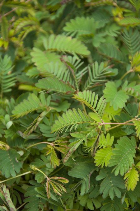 A sensitiva fecha suas folhas em resposta a uma estimulação mecânica