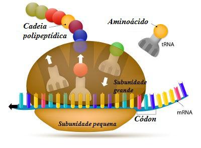 Observe o esquema de um ribossomo realizando a síntese de uma proteína