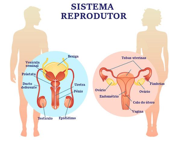 O sistema reprodutor está relacionado com nossa reprodução e apresenta diferenças entre homens e mulheres.