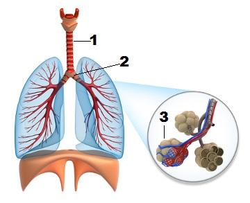 Esquema das vias respiratórias