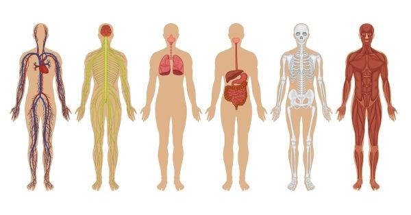 O corpo humano é formado por vários sistemas.
