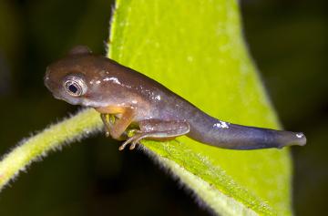 Observe que, após o aparecimento das patas, o animal ainda apresenta cauda