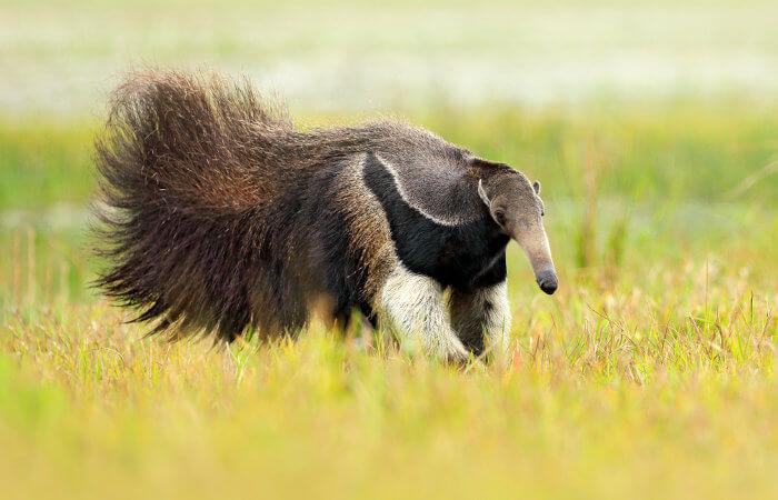 O tamanduá-bandeira é um animal grande que pode pesar mais de 30 quilos.