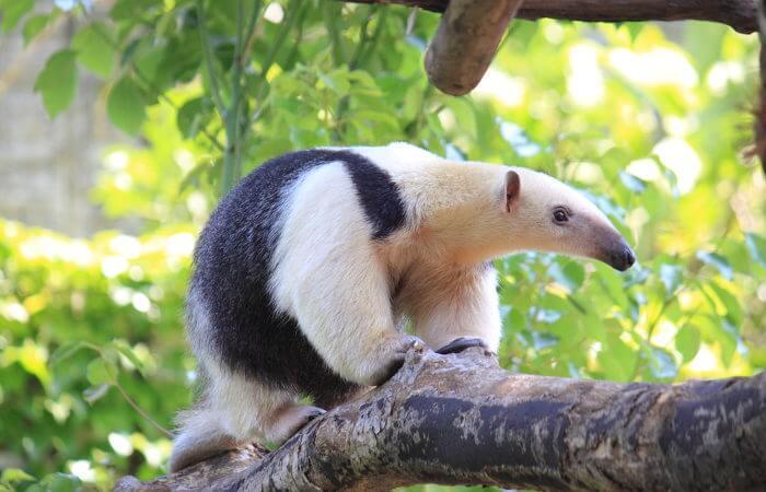 O tamanduá-mirim é um animal que apresenta cerca de 5 a 8 quilos.