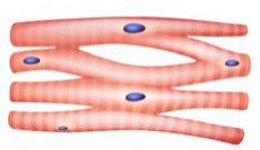 Observe as células do tecido muscular estriado cardíaco