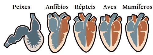 Coração dos vertebrados