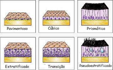 Classificação dos epitélios segundo a forma e arranjo
