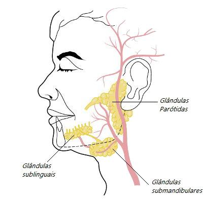 Localização das glândulas parótidas, submandibulares e sublinguais
