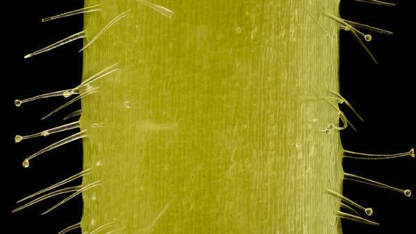 0092bdc21d4c6 Os tricomas são apêndices epidérmicos que atuam na proteção do vegetal.