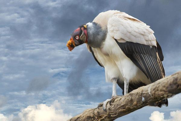 O urubu-rei apresenta a cabeça e o pescoço coloridos e a plumagem branca.
