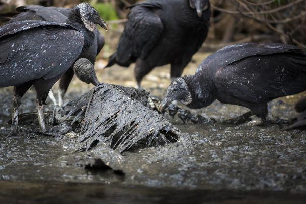 Os urubus alimentam-se, principalmente, de carcaças de animais em decomposição.