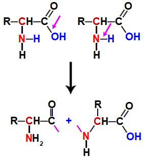 Representação as valências livres em dois aminoácidos