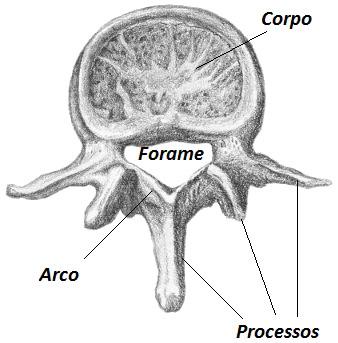 A vértebra apresenta três porções básicas: corpo, arco e processos vertebrais