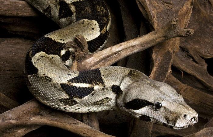 A jiboia é uma espécie de serpente que apresenta 11 subespécies.