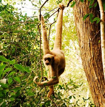 Os muriquis-do-norte são primatas arborícolas que se movimentam rapidamente pela floresta com a ajuda de seus braços logos e cauda preênsil. Foto de P