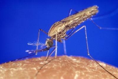 O mosquito Anopheles é um exemplo de vetor