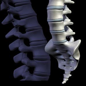 A junção articulada das vértebras.