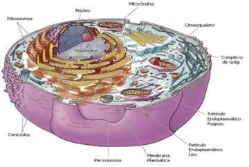 A célula eucarionte animal.