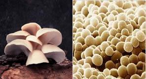 Fungos: orelhas-de-pau (pluricelular) e leveduras (unicelular)