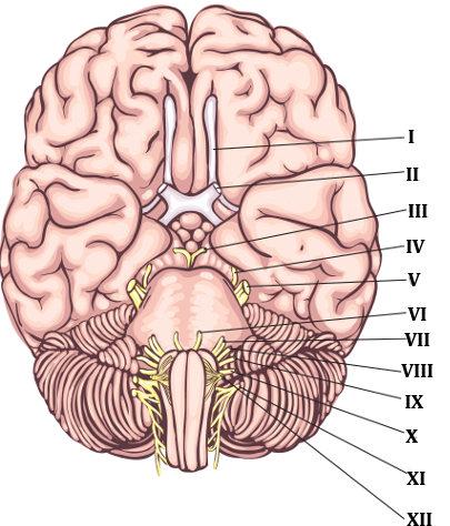 Os nervos cranianos são aqueles que se conectam ao encéfalo