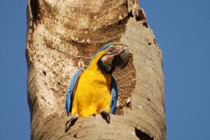 Araras costumam fazer seus ninhos em troncos ocos de árvores.