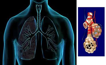 O pulmão e a hematose nos alvéolos: combinação do oxigênio com a molécula de hemoglobina.