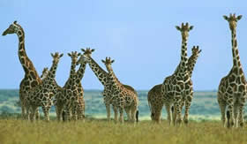 As girafas vivem em bandos.