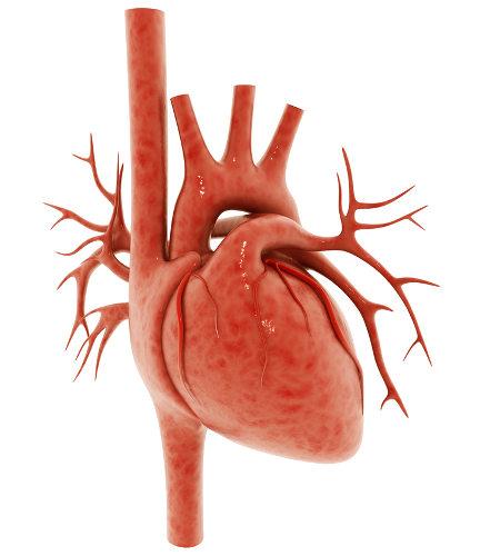 Os corações dos animais apresentam diversas diferenças, como o número de câmeras.