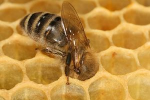 Abelha (Família Apidae)