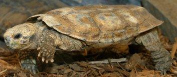 Tartaruga-panqueca, pertencente à linhagem Cryptodira