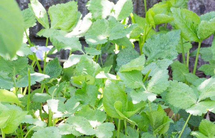 O Mitsubá é uma planta muito semelhante à salsa que pode ser usada na alimentação