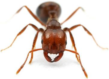A picada da formiga vermelha causa uma dor intensa, em razão da liberação do ácido metanoico.