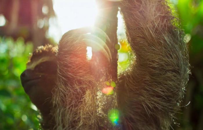 As preguiças são animais que possuem uma taxa metabólica baixa.