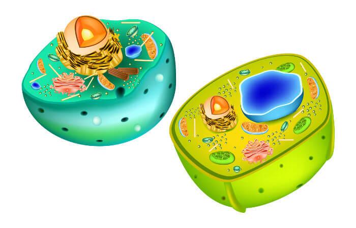 As células animais e vegetais são células do tipo eucarionte, ou seja, possuem um núcleo definido.