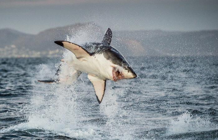 Os tubarões são peixes que apresentam esqueleto predominantemente cartilaginoso.