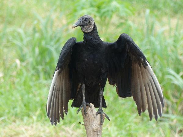 O urubu-de-cabeça-preta é o mais conhecido dos urubus brasileiros.