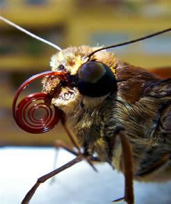 Aparelho bucal das borboletas (probóscide).