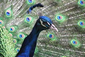 Pavões machos de caudas maiores são mais atrativos às fêmeas, garantindo seu sucesso reprodutivo.